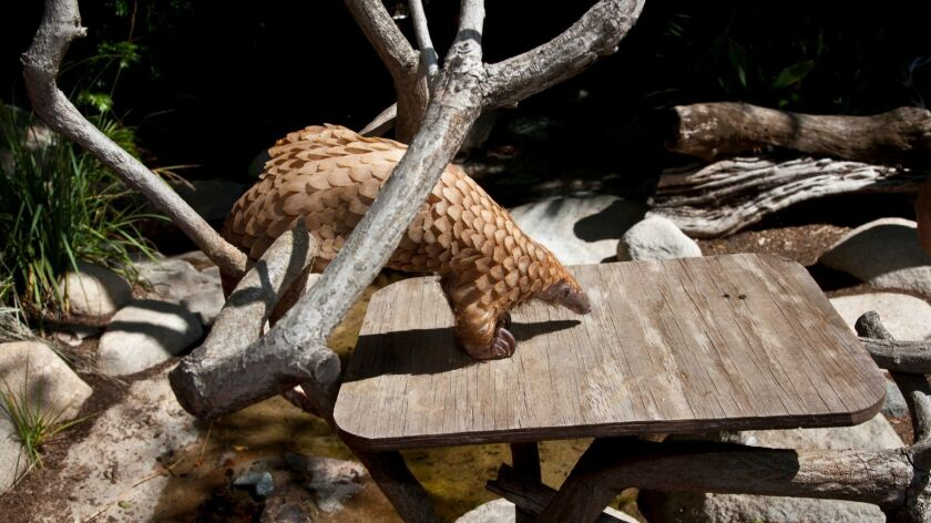 Baba the African White Bellied Tree Pangolin,