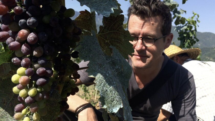 "Sommelier Jeremy Quinn inspects ripe grapes in the documentary ""Our Blood Is Wine."""