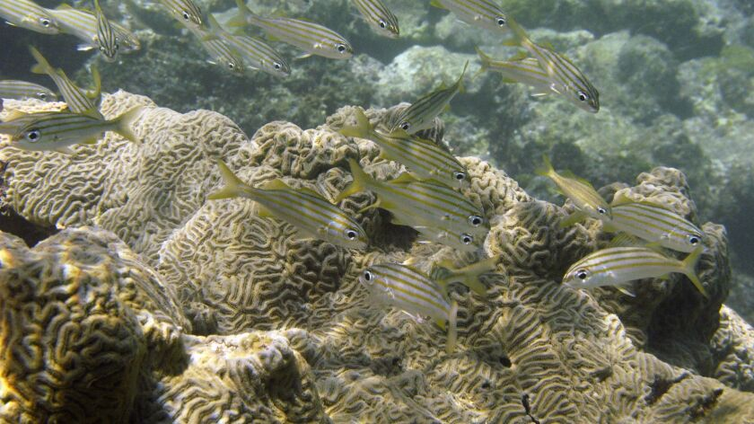 FILE - In this Aug. 30, 2008, file photo, fish swim next to a coral reef at Cayo de Agua in archipel