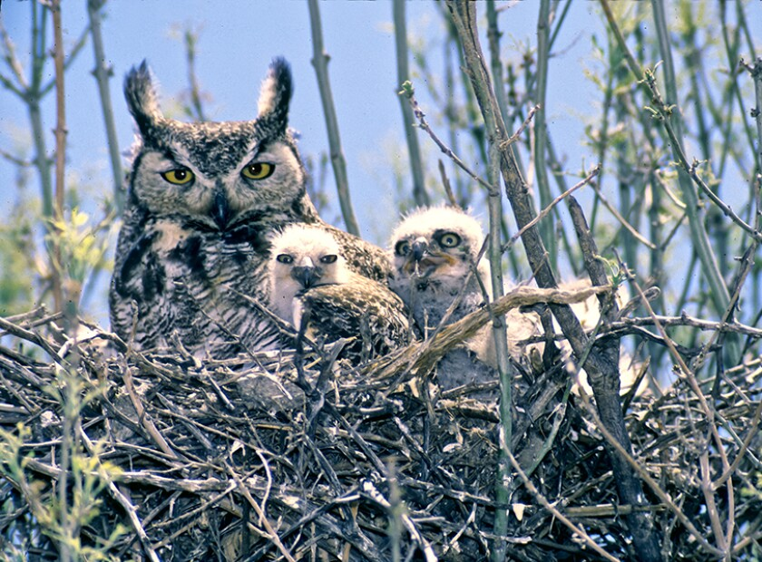 Great horned owls are among the nesting raptors around the Batiquitos Lagoon that researchers are interested in.