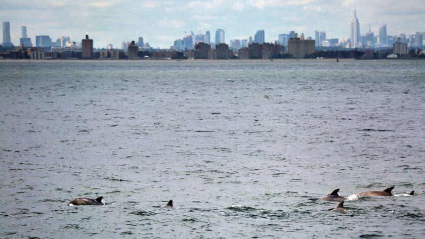 Bottlenose dolphins swim near the Verrazano-Narrows Bridge, the entrance to New York Harbor. The Emp