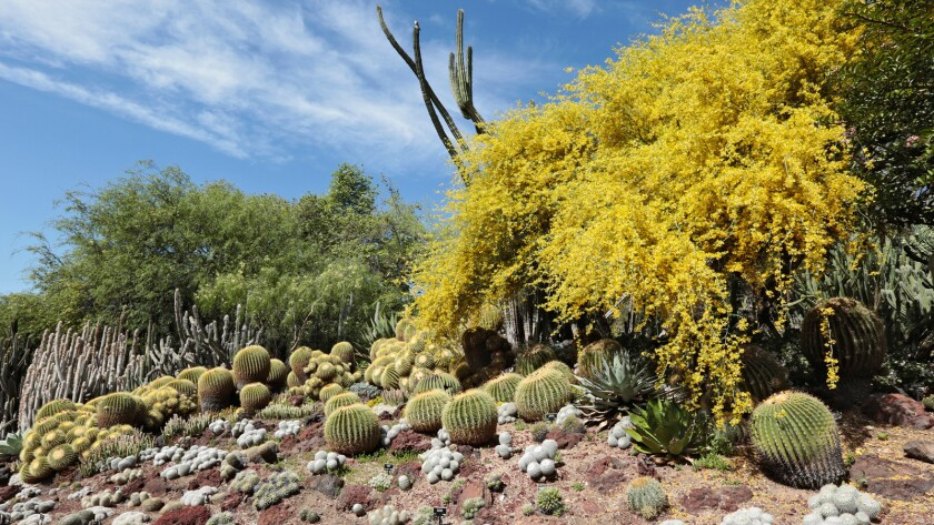 A view of the Huntington's Desert Garden with cactus, succulents and blooming trees.