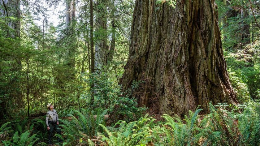 Grove of Titans contains some of the largest coast redwoods. (Max Forster / Save the Redwoods League