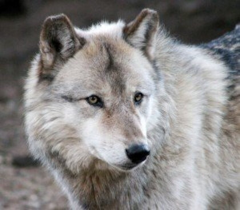 Inuk Wolf, the alpha male of the California Wolf Center's ambassador pack of gray wolves.