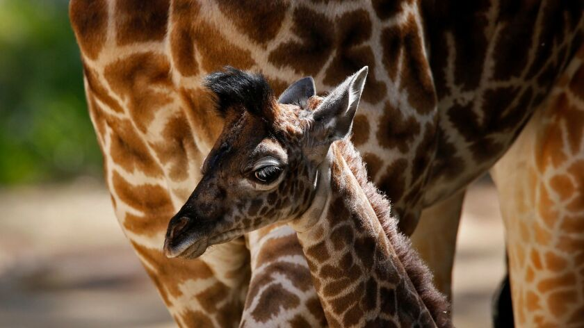 A giraffe calf named Sofie meets the public for the first time at the Los Angeles Zoo in 2013. She was the first calf for the zoo's female Masai giraffe, Hafina.