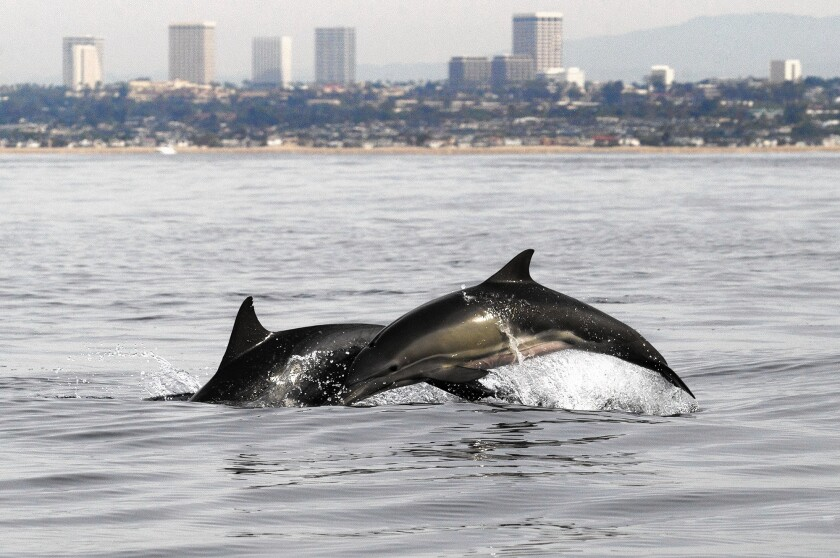 A pair of dolphins swims off the coast of Newport Beach on Monday during a Newport Coastal Adventure tour.