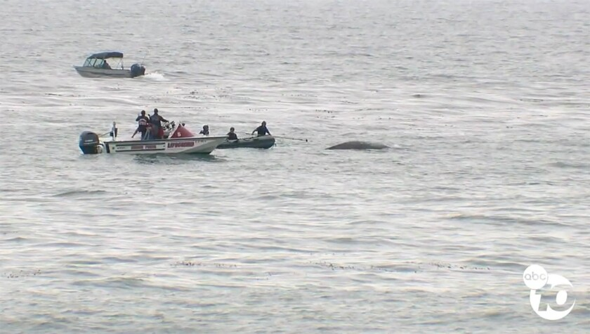 SeaWorld and San Diego lifeguards helped a juvenile humpback whale at Windansea Beach in La Jolla Mo