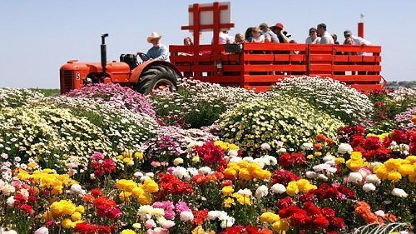 Tour the Flower Fields on an open-air antique tractor.