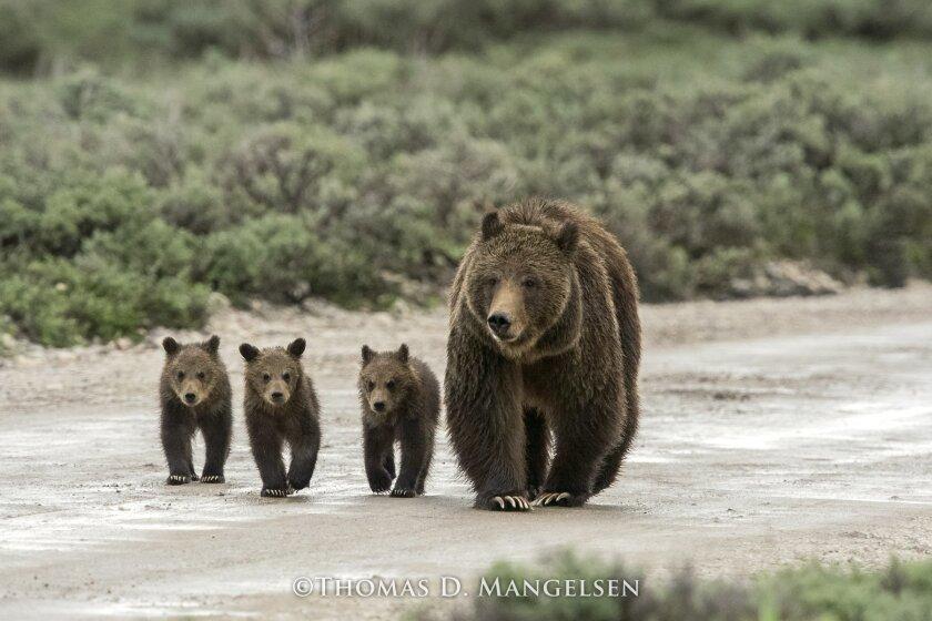 'Teton Rush Hour' by Thomas Mangelsen, Grand Teton National Park, Wyoming (2013)