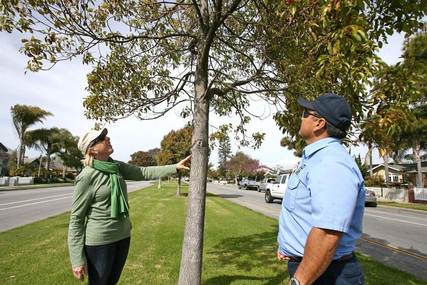Jean Nagy, left, of the Huntington Beach Tree Society, and Greg Gutierrez, of the Huntington Beach tree department, check the health of a camphor tree along the traffic median at Main Street and Adams Avenue in 2011.