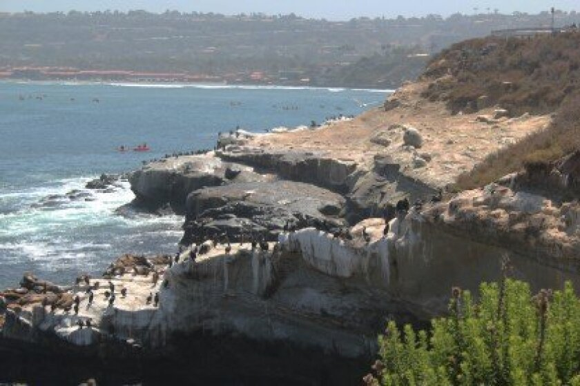 A section of the the La Jolla Cove cliffs just prior to completion of the first phase of guano removal. Tough cormorants, pelicans and sea lions are hanging back from the treated area in this photo, their waste was found there again following completion of the work. Pat Sherman photos