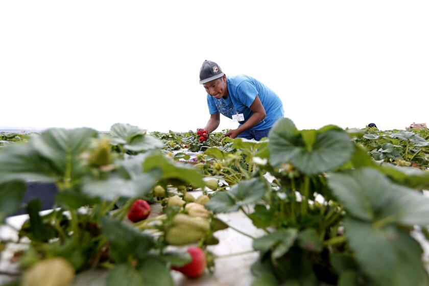 A farmworker picks strawberries in Guadalupe, Calif., in 2017. Presidential candidate Sen. Elizabeth Warren unveiled a plan Monday that would bolster federal protections and access to basic rights for farmworkers and food chain employees.