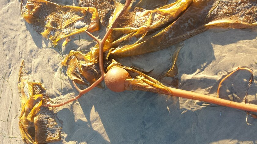 Elk or elkhorn kelp stranded on the beach in La Jolla.