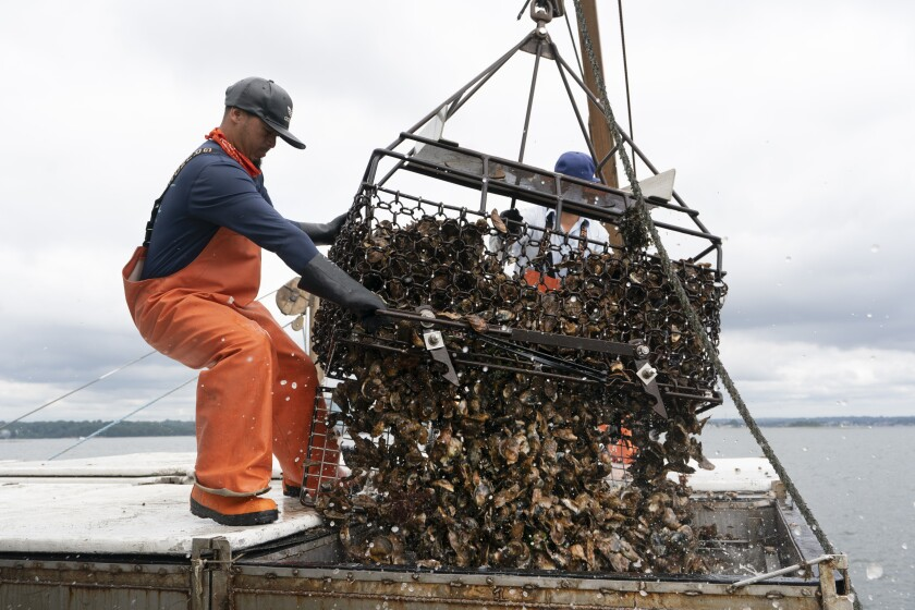 Darwin Ceveda opens the bottom of a basket to unload hundreds of oysters into the hold of a shellfishing boat owned by Copps Island Oysters, Monday, Aug. 9, 2021, off Norwalk, Conn. The state of Connecticut, maintains more than 17,500 acres of natural shellfish beds. Oystermen get permits to work those public beds, harvesting seed oysters to transplant to their own grounds. (AP Photo/Mark Lennihan)