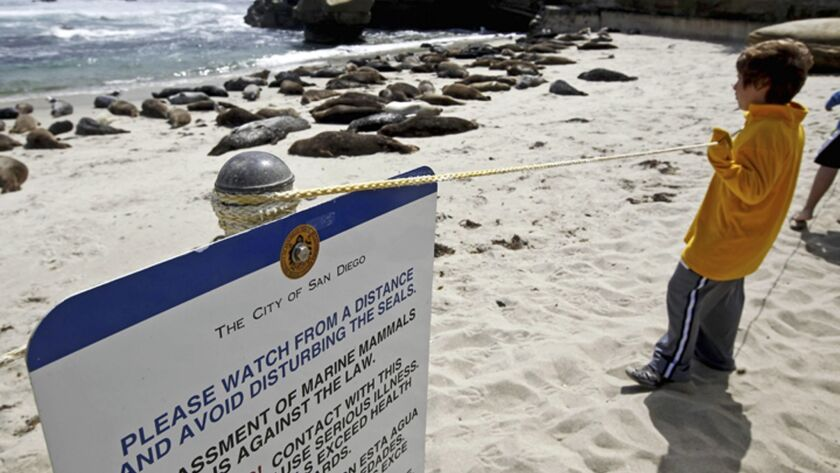 FILE - In this May 29, 2011 file photo visitors watch harbor seals on the sand along a La Jolla beac
