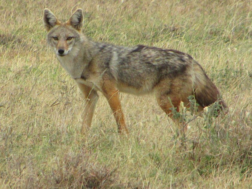 Canis anthus, the creature long known as the African golden jackal. Based on DNA analysis scientists now suggest calling it the African golden wolf.