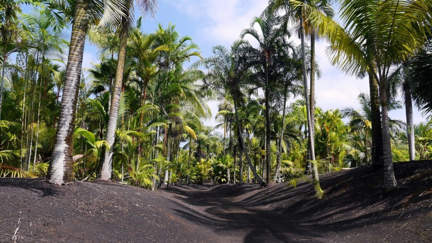 A large garden of palm trees, planted in the early 1990s, encloses the Kipuka property. Owner Mark Frost offers tours through the stand of rare palms.