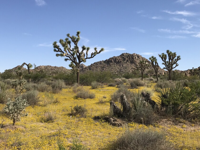 Yellow flowers cover the ground near Joshua trees and other cactus