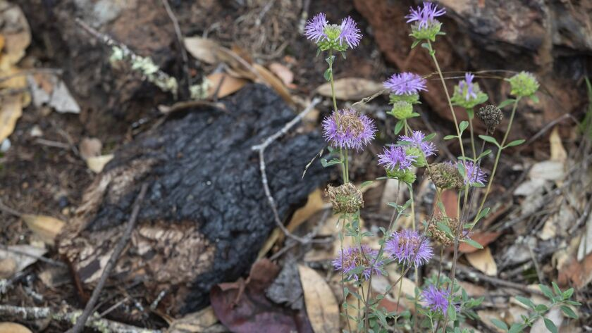 SANTA ROSA, CALIF. -- WEDNESDAY, OCTOBER 10, 2018: Coyote mint blooms among charred trees in the Pep