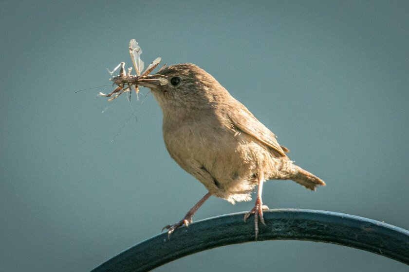 An adult house wren brings a nice bug lunch to one of its nestlings.