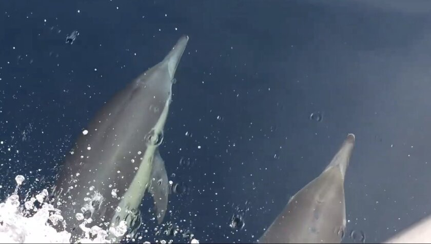Dolphins took a joy ride this week while bow-riding a ship that accompanied SeaWorld to release rescued sea lions.