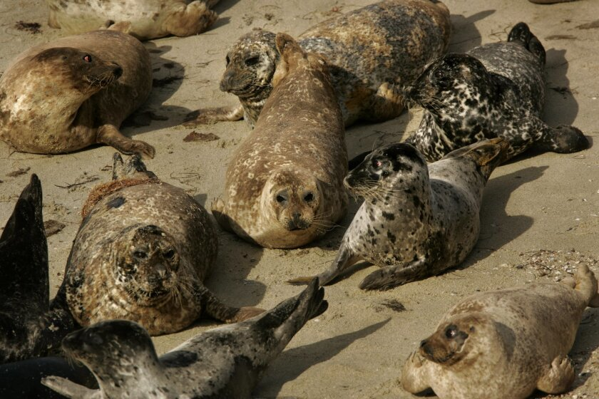 About 200 seals live at the cove, which state law established as a swimming area for children in 1931. But the seals have contaminated the water. (Howard Lipin / Union-Tribune)