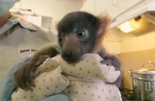 Lemur baby born at zoo