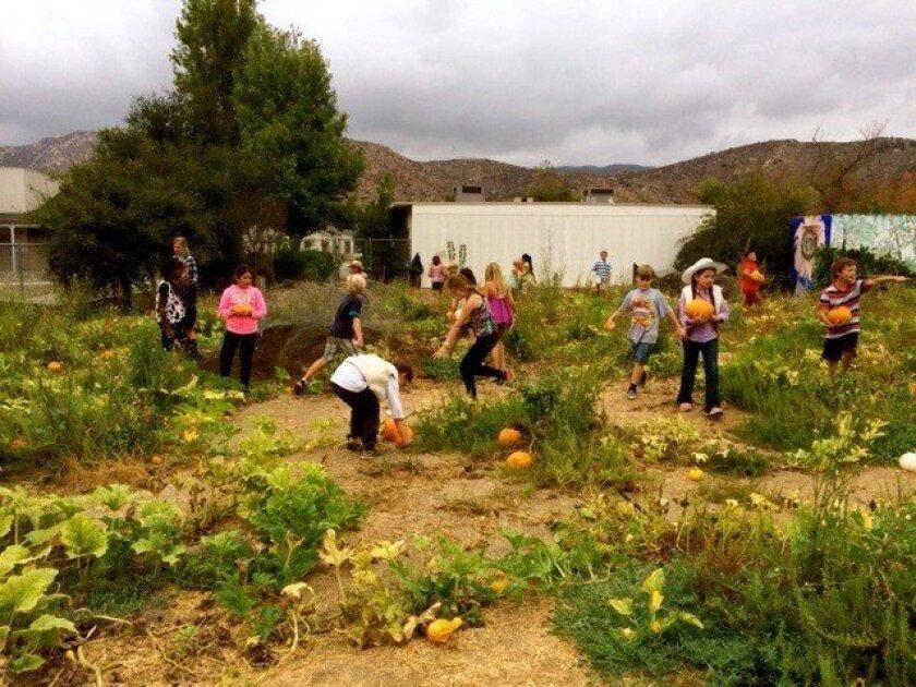 San Pasqual Elementary students choose pumpkins in the school's garden.