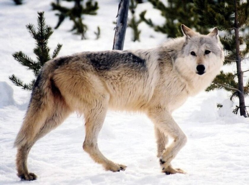 A gray wolf in Yellowstone National Park. The protected status of wolves in the U.S. remains uncertain.