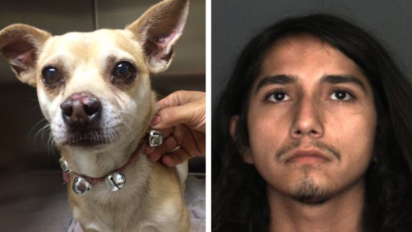 Isaiah Nathaniel Sais, 21, was arrested on suspicion of animal cruelty after his dog, Jack Sparrow, tested positive for methamphetamine.