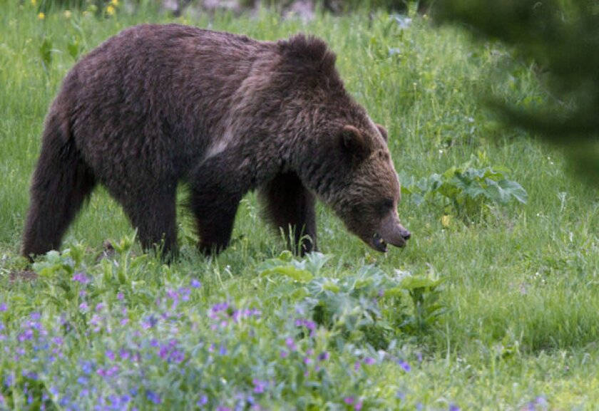 A grizzly bear roams near Beaver Lake in Yellowstone National Park. Federal officials have reported a dramatic increase in bear numbers in recent decades and estimate more than 700 now live in and around Yellowstone.
