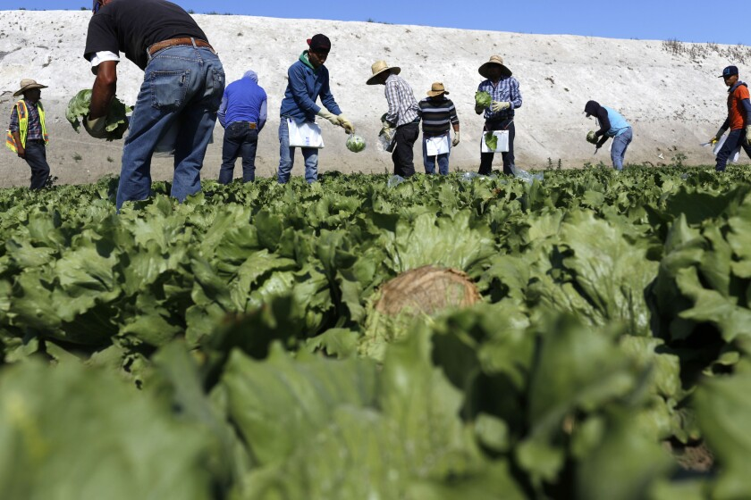 Workers harvest iceberg lettuce in the Central Valley.