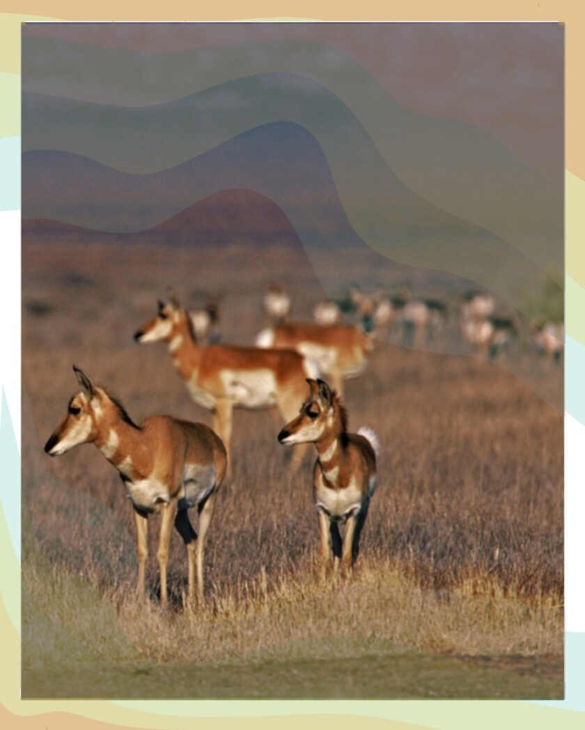 These herbivores are the fastest land mammal in the Western Hemisphere.
