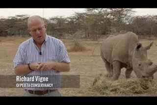 Northern white rhinos on the brink of extinction