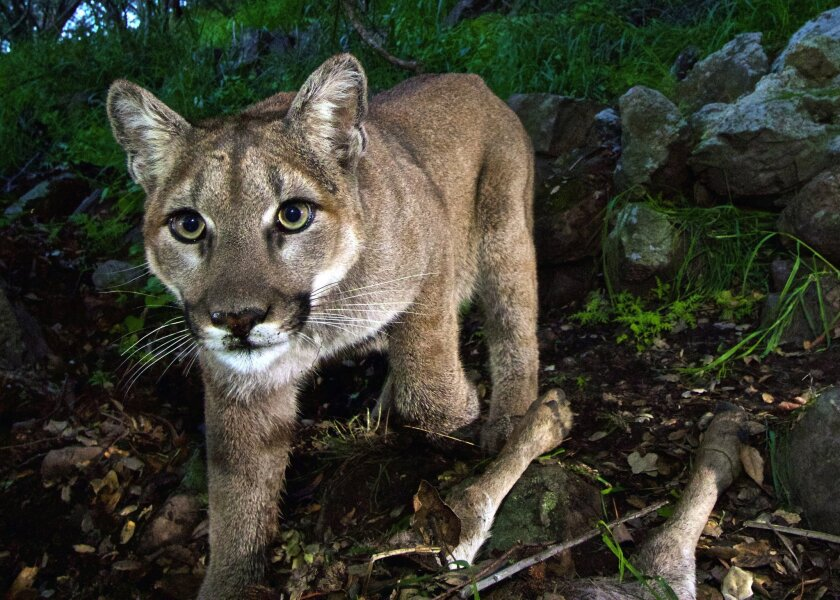 P-33, the first known mountain lion to cross the 101 Freeway northward into the Simi Hills in March 2015. She later made her way to Los Padres National Forest, where her remains were found in July.