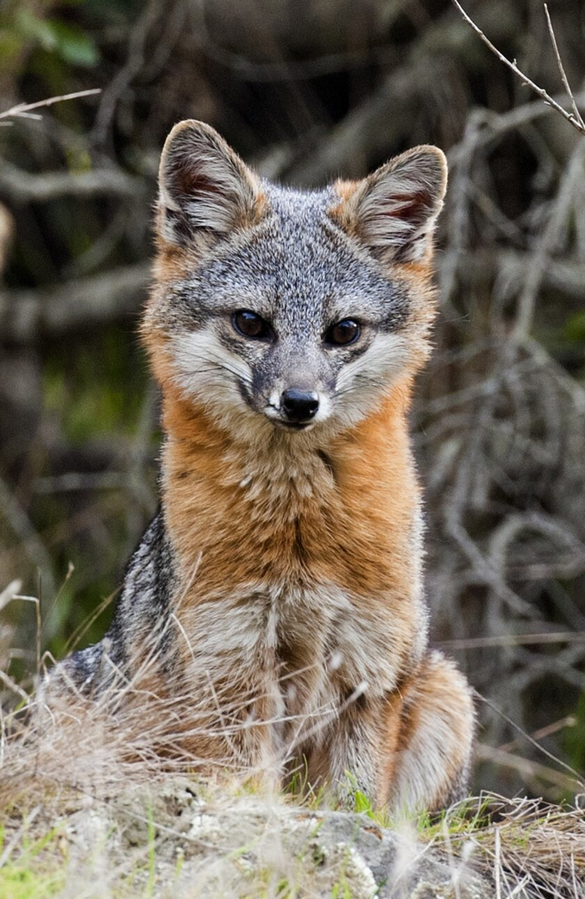 At just six pounds, the Catalina Island fox is the top predator on the island. Photo courtesy of the Catalina Island Conservancy.