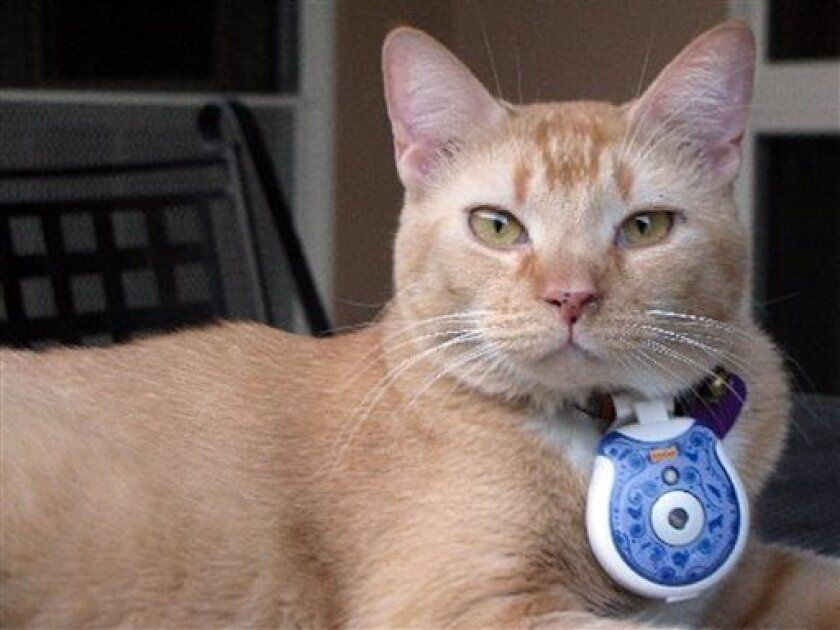 This undated image provided by Ketchum pr shows Leo-Hector with a cat cam attached to his collar. Leo-Hector was one of fifty house cats who were given collar cameras that took a photo every 15 minutes. The results put a digital dent in some human theories about catnapping. (AP Photo/Ketchum/ Lyn Thornton)