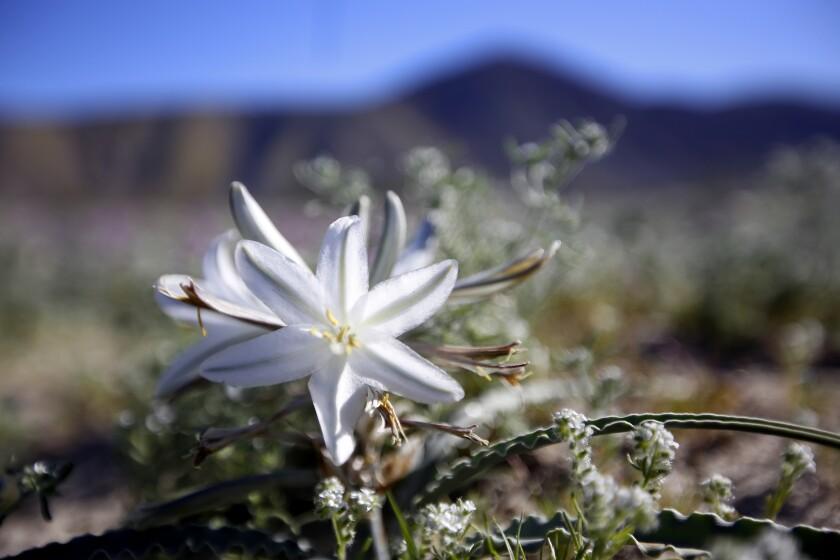 Desert lily in Anza Borrego