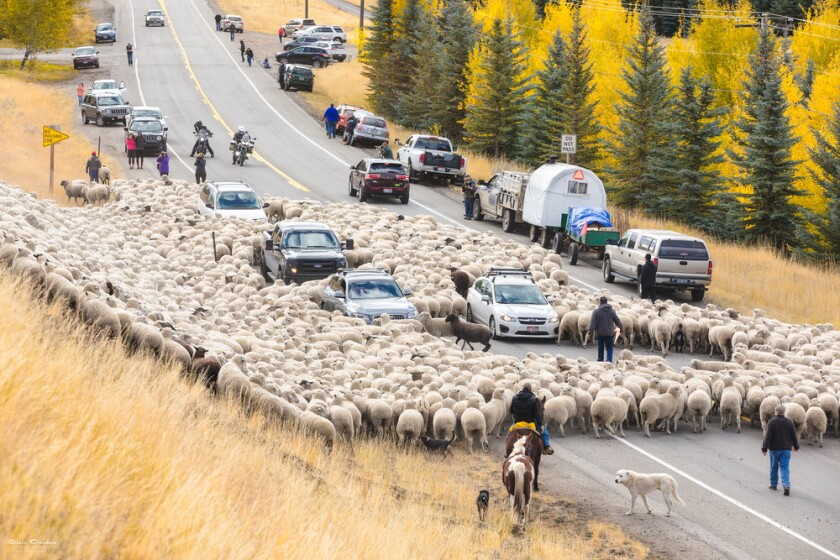 The annual Trailing of the Sheep passes through Ketchum, Idaho.