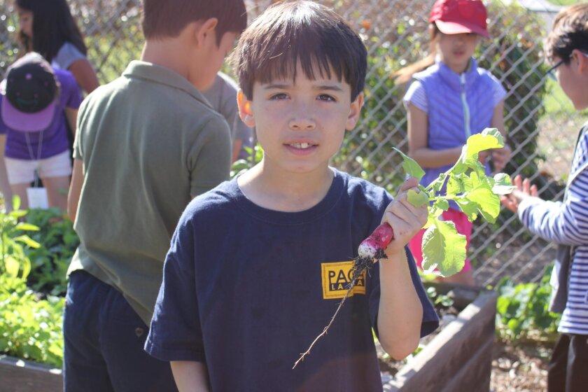 Grant Williams picks a radish from the Torrey PinesElementary School garden.