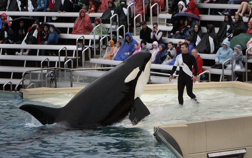 "Trainer Matt Fripp worked with a killer whale on the Shamu Shelf at SeaWorld San Diego shortly after the park resumed the ""Believe"" show in 2010."