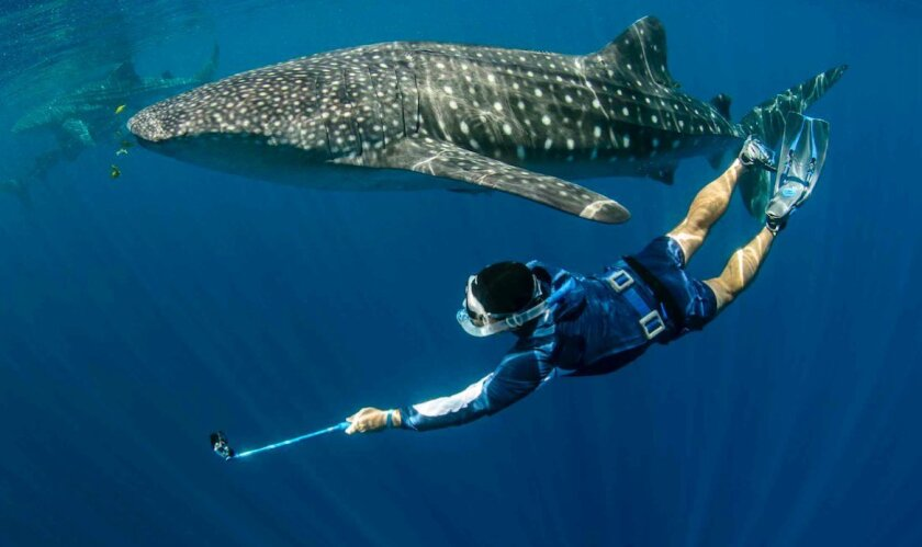 Biologist Brent Stewart of San Diego's Hubbs-Sea World Research Institute studies a whale shark during a close encounter in the Pacific. He'll travel to the Galapagos this summer to continue his research on the sharks -- the world's largest species of fish.