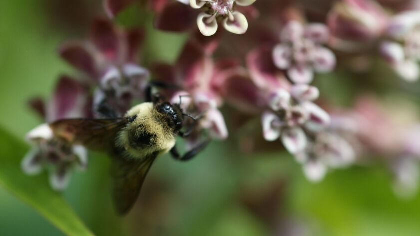 In this June 5, 2019, photo, a bee pollinates a milk weed flower at the USGS Patuxent Wildlife Resea