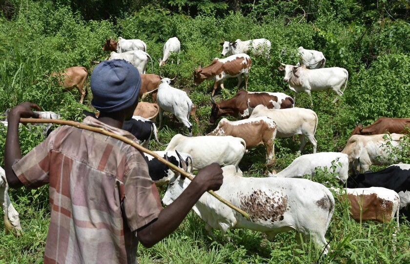 A shepherd watches his flock in the bush near Bouake, Ivory Coast. Some analysts believe poorer African nations could be the most vulnerable in the face of the upheaval caused by Britain's vote to exit the European Union.
