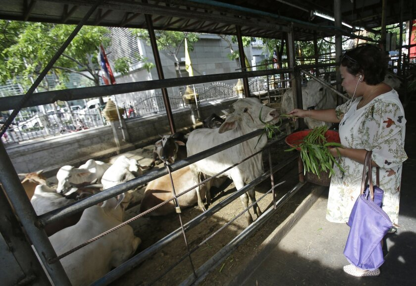 In this photo made on on June 3, 2016, a visitor feeds a cow at the Wat Hualamphong temple in hopes of earning merit by sparing the cow's life from a butcher's knife in Bangkok, Thailand. The scandal surrounding Thailand's Tiger Temple, where wildlife officers seized 137 big cats this past week, ha
