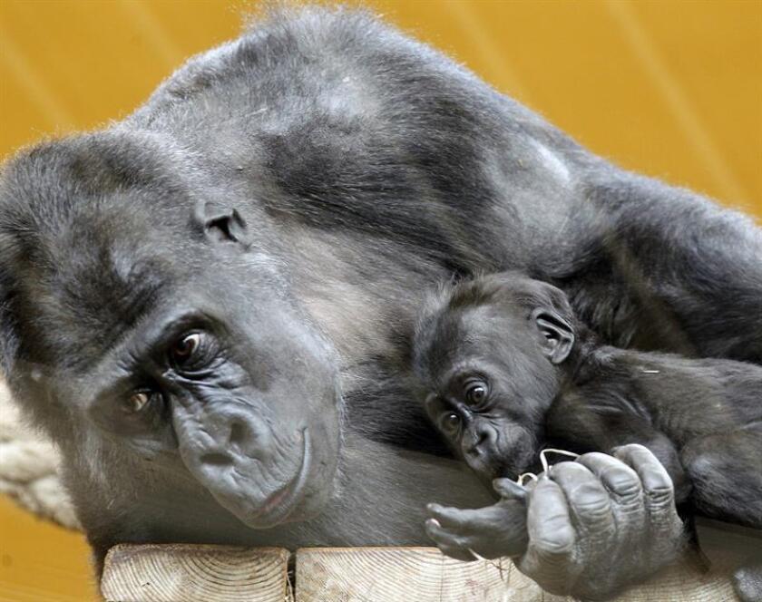 Vista de una gorila junto a su cria. EFE/Archivo