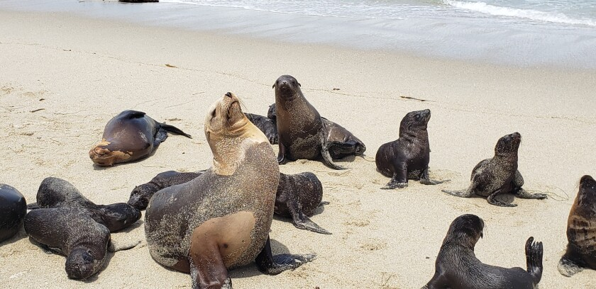 Sea lions and their pups bask on the sand in La Jolla.
