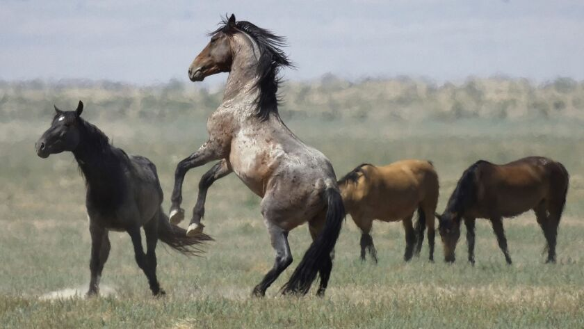 The U.S. government is seeking new pastures for thousands of wild horses that have overpopulated Western ranges. Above, horses near Salt Lake City.