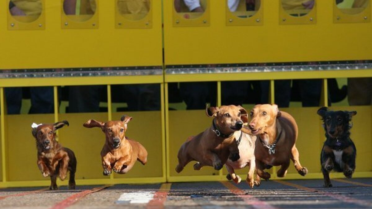 Best Bet Belly Up For The Wiener Dog Races On Saturday The San Diego Union Tribune