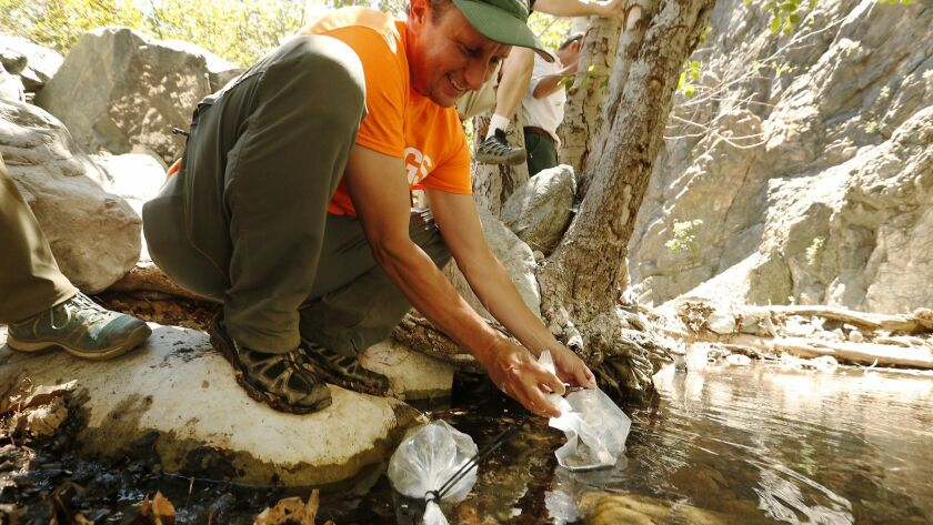 LLANO, CA – JUNE 26, 2018: Adam Backlin, USGS Ecologist carefully releases some of several hundred